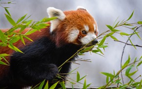 Picture look, leaves, nature, grey, background, tree, paw, portrait, animal, red Panda, face, red Panda, bamboo …