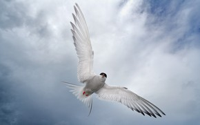 Picture bird, wings, Seagull
