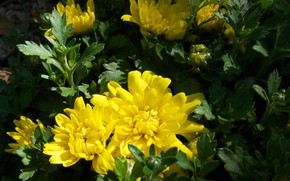 Picture flowers, photo, chrysanthemum