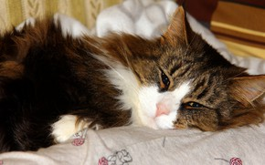 Picture cat, cat, look, stay, fluffy, bed, lies