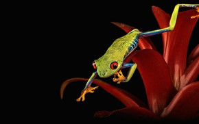 Picture flower, macro, red, pose, frog, legs, petals, black background, red-eyed tree frog