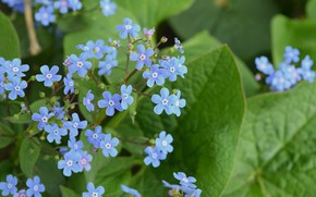 Picture spring, widescreen, forget-me-not, blue flowers