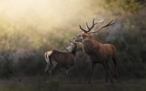 Picture look, nature, pose, deer, pair, deer, bokeh, female, male, DOE