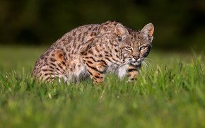 Picture field, grass, light, pose, lynx, sneaks