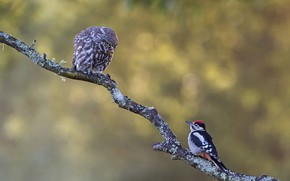 Picture birds, background, owl, two, branch, woodpecker, pair, a couple, Duo, owl