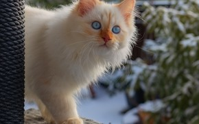 Picture winter, cat, white, look, snow, kitty, background, spruce, fluffy, kitty, blue-eyed, color-point, Neva masquerade, red-point