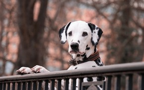 Picture autumn, look, face, branches, pose, Park, the fence, dog, paws, the fence, railings, Dalmatians, stand, …