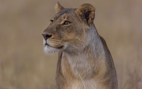 Picture nature, background, lioness, DUELL ©