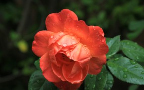 Picture drops, macro, rose