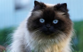 Picture cat, cat, close-up, portrait, muzzle, beauty, blue eyes, large, blue background, fluffy, Siamese, color-point, ragdoll