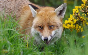 Picture face, flowers, Fox