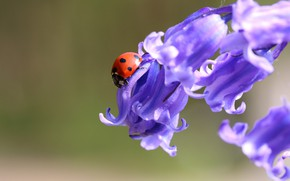Picture macro, flowers, background, ladybug, beetle, bells