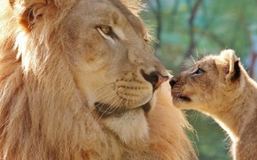 Picture look, face, close-up, background, Leo, baby, father, lions, a couple, cub, lion, two, lion, dad, …