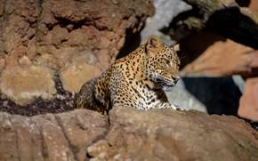 Picture stones, predator, leopard