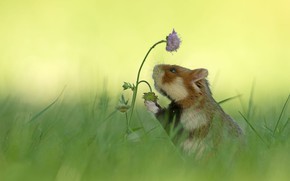 Picture flower, grass, background, hamster, blur, rodent