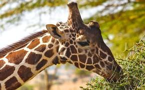Picture face, branches, portrait, giraffe, profile