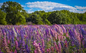 Picture summer, meadow, lupins