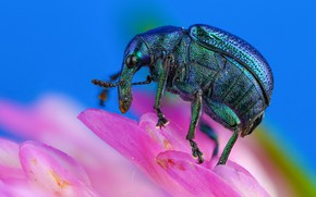 Picture flower, macro, blue, background, pink, beetle, petals, insect, brilliant, weevil
