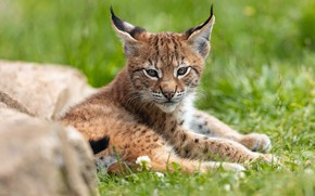Picture grass, look, pose, stones, baby, lies, lynx, face, a small lynx