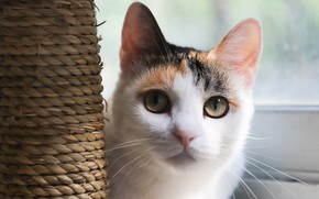Picture cat, look, face, light, portrait, spotted, scratching post