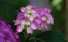 Picture macro, flowers, pink