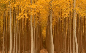 Picture autumn, forest, trees, Park, yellow, the ranks, landing, gold, aspen