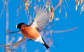 Picture the sky, bird, bullfinch