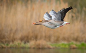 Picture flight, feathers, ducks