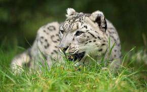 Picture look, nature, portrait, IRBIS, snow leopard