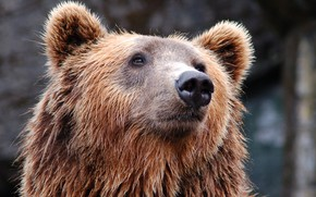Picture face, background, bear, bokeh