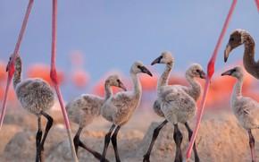 Picture Mexico, Yucatan, Chicks, red Flamingo