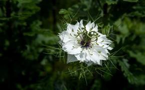 Picture white, flower, leaves, the dark background, Nigella