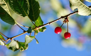 Picture the sky, leaves, cherry, berries, two, branch, red, a couple, cherry, blue background
