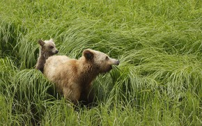 Picture animals, grass, nature, predators, bears, grizzly