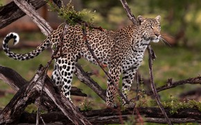 Picture look, branches, nature, wet, background, leopard, is, branches, driftwood