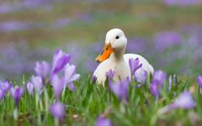 Picture flowers, spring, crocuses, white, duck, duck