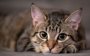 Picture cat, eyes, cat, look, face, kitty, grey, portrait, kitty, striped