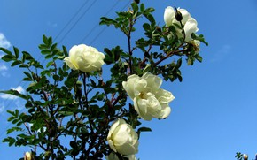 Picture the sky, flowers, roses