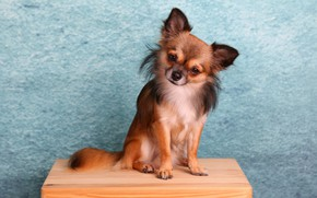 Picture look, dog, muzzle, baby, Chihuahua