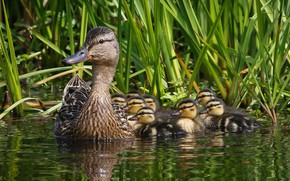 Picture ducklings, mom, duck, brood