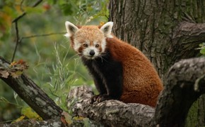 Picture look, face, branches, nature, tree, portrait, baby, red Panda, sitting, cub, red Panda