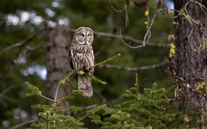 Picture forest, tree, owl
