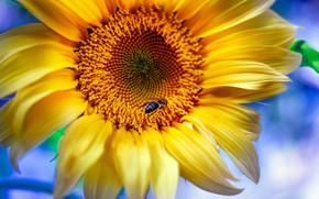 Picture macro, bee, sunflower, petals