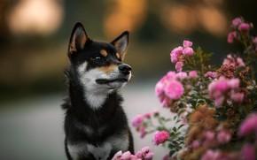 Picture flowers, background, black, roses, dog, puppy, rose Bush, Shiba inu, Shiba