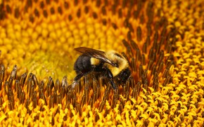 Picture flower, macro, bee, sunflower, bumblebee