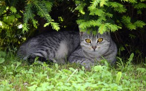 Picture cat, summer, grass, cat, look, face, branches, nature, grey, background, stay, lies, needles, British, yellow …