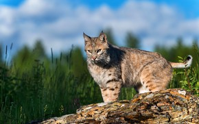 Picture grass, look, pose, log, lynx