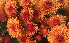 Picture flowers, Bush, bouquet, orange, chrysanthemum, a lot