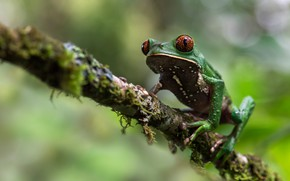 Picture macro, background, moss, frog, branch, bokeh, treefrog, red-eyed, dendrobates