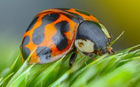 Picture macro, green, background, plant, ladybug, beetle, spot, insect